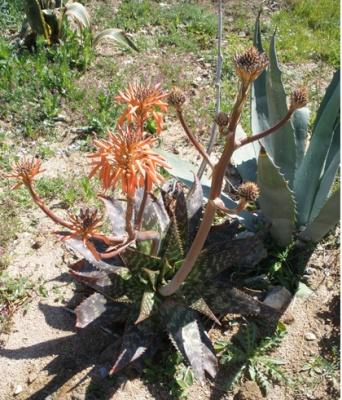 Fleur agave